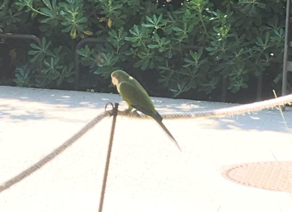 A green parrot in Parc de les Aigües